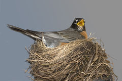 Robin in Haar Nest Stock Foto's