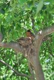 Robin in haar nest Royalty-vrije Stock Foto's