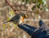 Robin on Hand Stock Photography