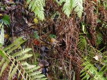 Robin in heavy varied foliage Stock Photo