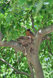 Robin in her nest royalty free stock photos