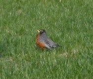 Robin in het gras Stock Fotografie