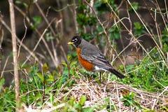 Robin in het hout Stock Foto's