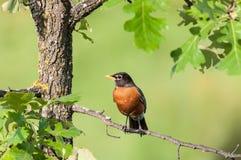 Robin hockte auf einem Zweig Stockbild