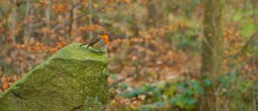 Robin hockte auf Felsen im Winter stockfoto