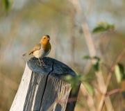 Robin hockte im Wintertageslicht Stockbilder