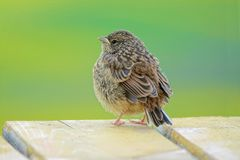 Robin Hodgson Sparrow fotografia de stock