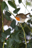 Robin on Holly tree Stock Photography