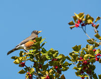 Robin in holly tree Royalty Free Stock Photo