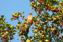 Robin in holly tree Royalty Free Stock Photography