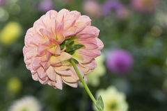 Robin Hood Dahlia Flowers With Blurred Flower Background Royalty Free Stock Photos