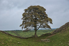 Robin hood tree. Hadrian's Wall Wide Angle Capture of Sycamore Gap, a section of Hadrians Wall between two crests in Northumberland, England is locally known as Royalty Free Stock Photography