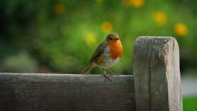 Robin hopping on bench in sunny garden stock video footage