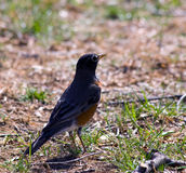 Robin Hunting Stock Images