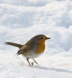 Robin i snow Royaltyfri Foto