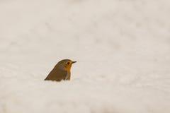 Robin i snowen Arkivfoto