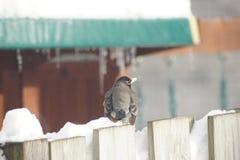 Robin i snowen Royaltyfria Bilder