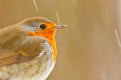Robin with ice on his beak Stock Photo