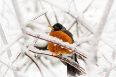 Robin in ice storm - below angle Royalty Free Stock Images
