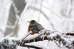 Robin in ice storm - side. An American Robin red breast, Turdus migratorius, an iconic herald of spring caught in a late spring or early winter snow and ice Stock Photos