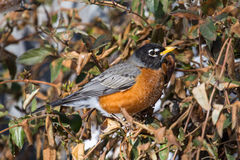 Robin in Illinois Winter Stock Image