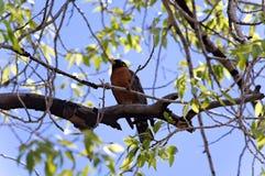 Robin im Baum Lizenzfreie Stockfotografie