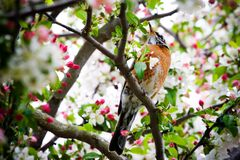 Robin im Crabapple Baum Lizenzfreies Stockfoto
