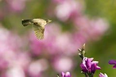 Robin im Flug mit Magnolie-Blüte Stockbild