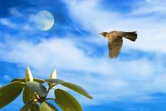 Robin im Flug mit Mond und Rhododendron Stockbild