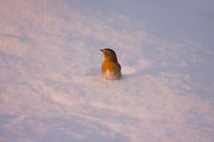 Robin im Schnee. Stockfotografie