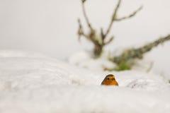 Robin im Schnee lizenzfreies stockfoto
