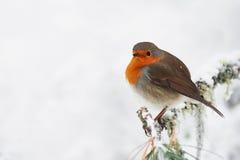 Robin im Weiß lizenzfreie stockfotografie