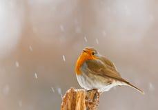 Robin im Winterschnee im Bayern Stockfotos