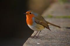 A Robin royalty free stock photo