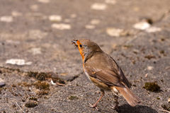 Robin with Insects Royalty Free Stock Images