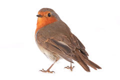 Robin. Isolated on a white background stock image