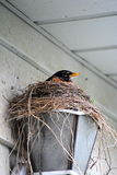 Robin on its` Nest. A robin sits on its` nest that is built in an outdoor light fixture Royalty Free Stock Photos