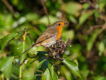 Robin on Ivy Stock Photos