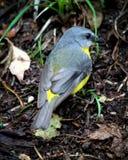 Robin jaune oriental, vue arrière Photo libre de droits