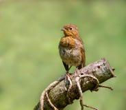 Robin (jugendlich) Lizenzfreie Stockfotografie