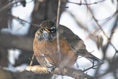 Robin. A Robin keeping warm Stock Photo