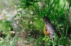 Robin - la terre Photographie stock