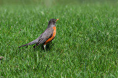Robin in the lawn Royalty Free Stock Images