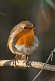 A Robin in light and shadow Stock Photos