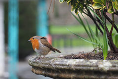 Robin a little ruffled on stone ledge Royalty Free Stock Image