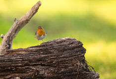 Robin on log Stock Image