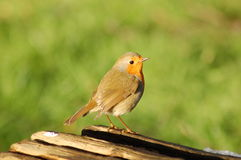 Robin on Log. This image shows an adult British Robin (latin name Erithacus rubecula melophilus) standing on a log Royalty Free Stock Photo