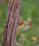 Robin on log Stock Photography