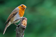 Robin looking on Royalty Free Stock Images