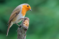 Robin looking on Stock Photography